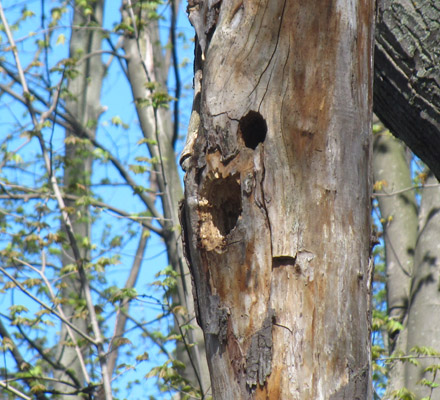 Tree cavity likely made by a woodpecker now occupied by other birds