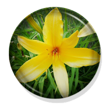 Hermocallis Day Lilies